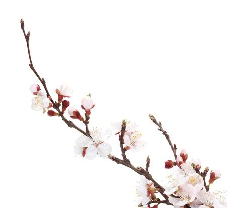 cerezos en flor: flor de albaricoque hermosa aislado en blanco