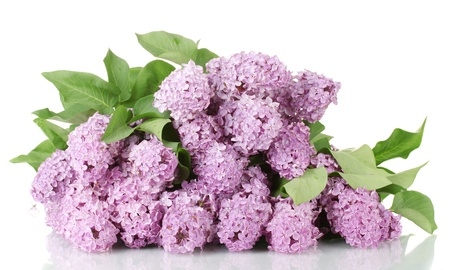 blooming. purple: beautiful lilac flowers isolated on white