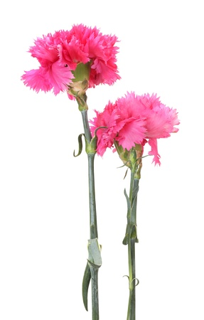 Beautiful pink carnations isolated on white Stock Photo - 14775854