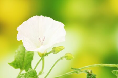 bindweed: Bindweed on a bright green background close-up Stock Photo