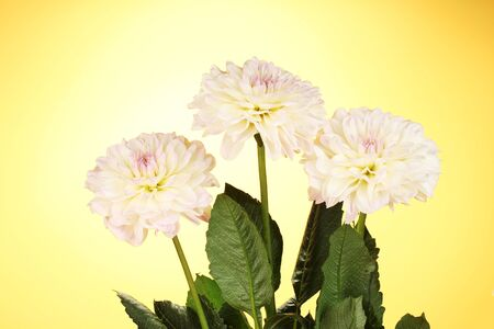 Beautiful white dahlias on yellow background close-up photo