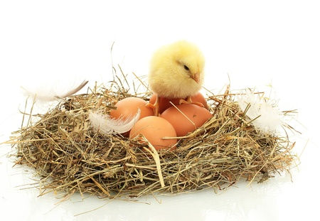 chicken nest: beautiful little chicken and eggs in nest, isolated on the white Stock Photo