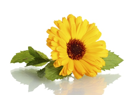 beautiful calendula flower, isolated on white Stock Photo - 14853915