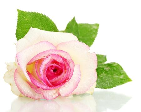 beautifu pink rose, isolated on white photo