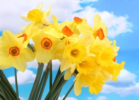 beautiful yellow daffodils  on blue sky background photo