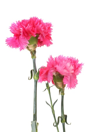 Beautiful pink carnations isolated on white Stock Photo - 14865636