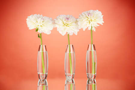 Beautiful white dahlias in glass vases on red background close-up photo