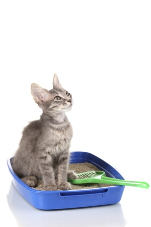 Small gray kitten in blue plastic litter cat isolated on white photo