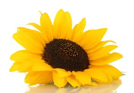 sunflower seed: beautiful sunflower, isolated on white