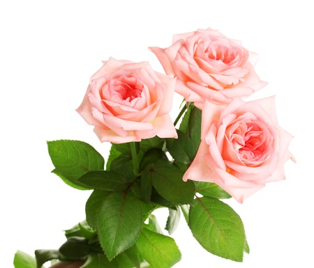 three objects: Pink roses isolated on white