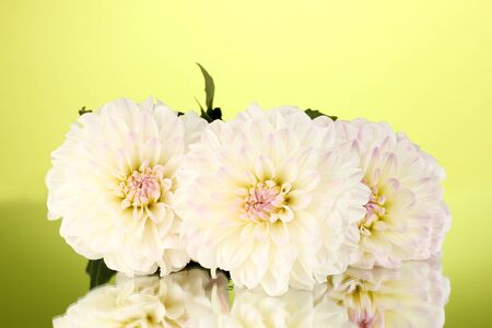 Beautiful white dahlias on green background close-up photo