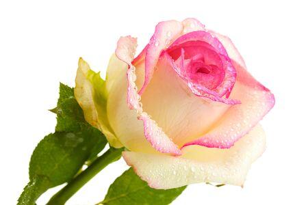 beautifu: beautifu pink rose, isolated on white