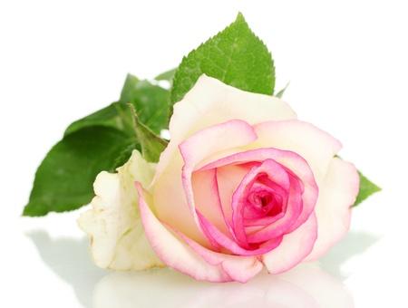 beautifu rosa rosa, aislados en blanco Foto de archivo
