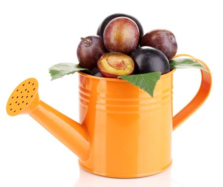Rip plums in watering can isolated on white photo
