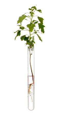 tubo de ensayo: planta en tubo de ensayo aislado en blanco