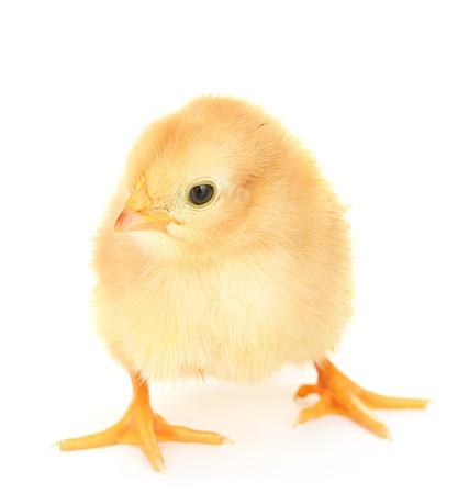 hatched: beautiful little chicken isolated on the white