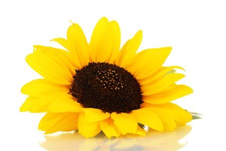 zonnebloem: mooie zonnebloem, geïsoleerd op wit Stockfoto