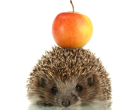 Hedgehog with apple, isolated on white photo