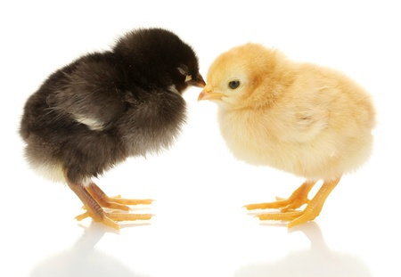 baby chick: black and yellow little chickens isolated on the white Stock Photo