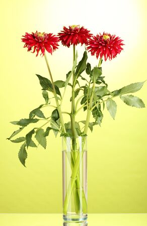 Beautiful red dahlias in vase on green background photo