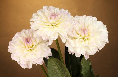 Beautiful white dahlias on brown background close-up photo