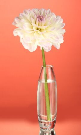 Beautiful white dahlia in glass vase on red background close-up photo