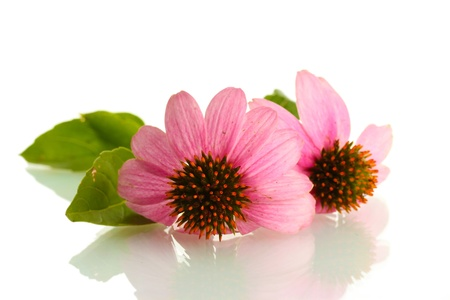 Purple echinacea, isolated on white photo