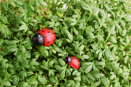 Garden cress with ladybugs close-up background photo