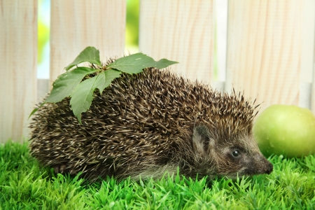 Hedgehog with leaf and apple, on grass,  on fence background photo