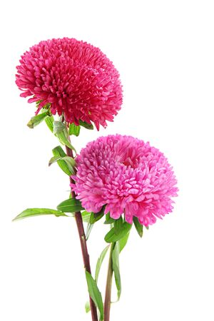 pink aster flowers, isolated on white Stock Photo - 15416576