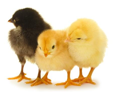 trois poulets peu isol�s sur le blanc