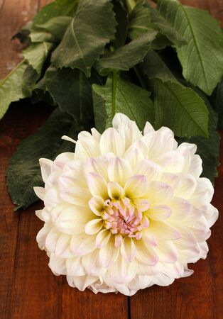 Beautiful white dahlia on wooden background close-up photo