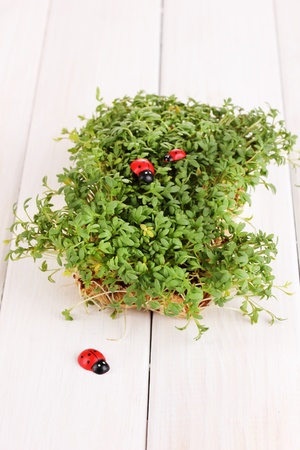 Fresh garden cress with ladybugs close-up on wooden table photo