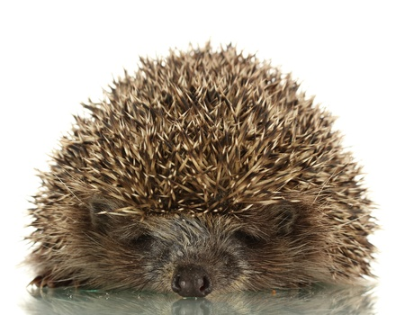 hedgehog: Hedgehog, isolated on white
