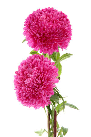 pink aster flowers, isolated on white Stock Photo - 15549254