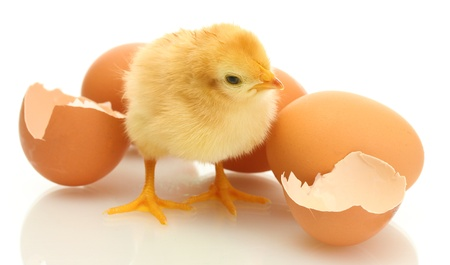 beautiful little chicken, eggshell and eggs isolated on the white photo
