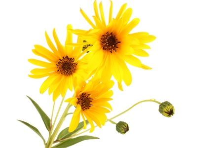 beautiful yellow flowers isolated on white photo