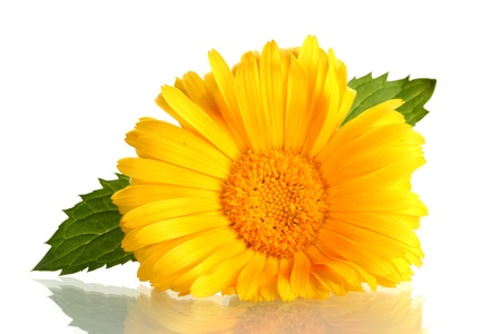 beautiful calendula flower, isolated on white photo
