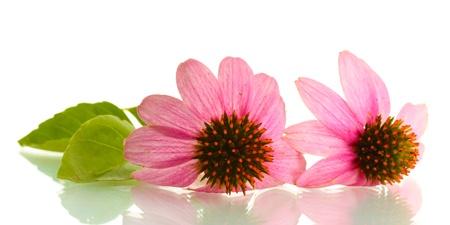 curative: Purple echinacea, isolated on white
