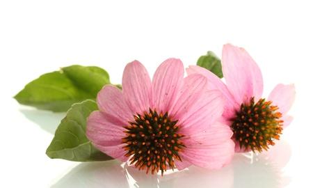 Purple echinacea, isolated on white
