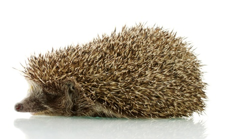 Hedgehog, isolated on white Stock Photo - 15726413