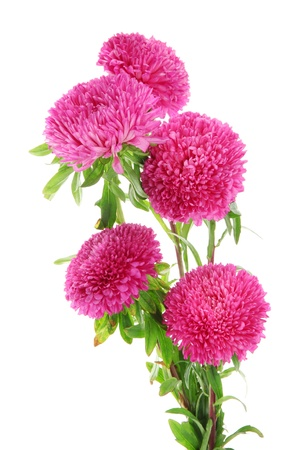 aster: pink aster flowers, isolated on white Stock Photo