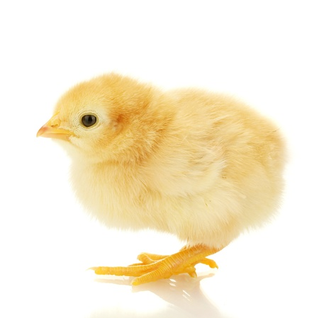 baby chick: beautiful little chicken isolated on the white