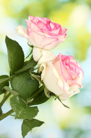 beautiful bouquet of pink roses, on green background photo