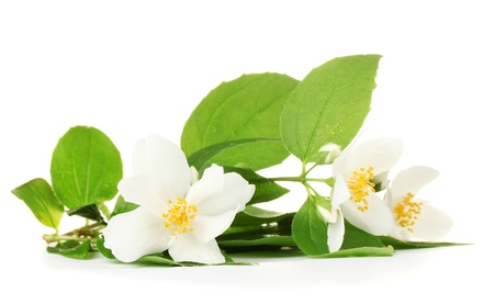 bunch up: beautiful jasmine flowers with leaves isolated on white Stock Photo