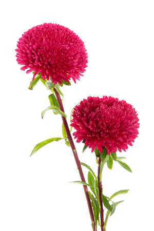 pink aster flowers, isolated on white Stock Photo - 15781283