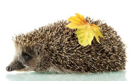 Hedgehog with autumn leaf, isolated on white photo