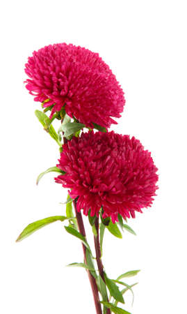 pink aster flowers, isolated on white Stock Photo - 15853103