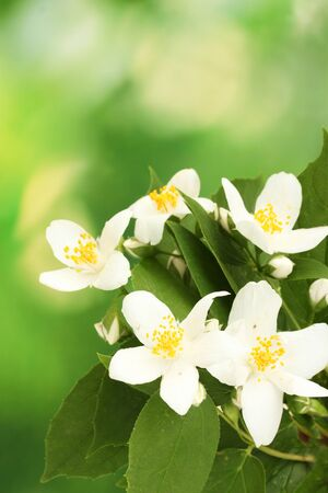 beautiful jasmine flowers with leaves on green background photo