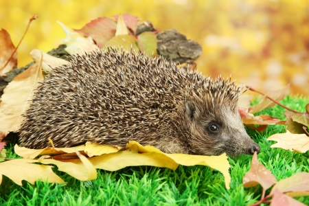 fall protection: Hedgehog on autumn leaves in forest
